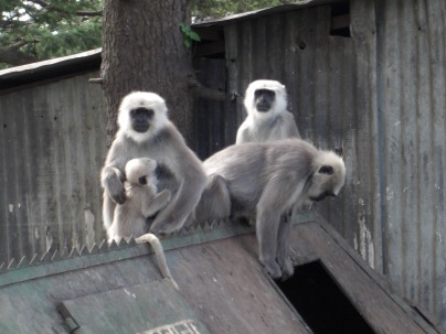 Outing in Kufri and Monkey business 008