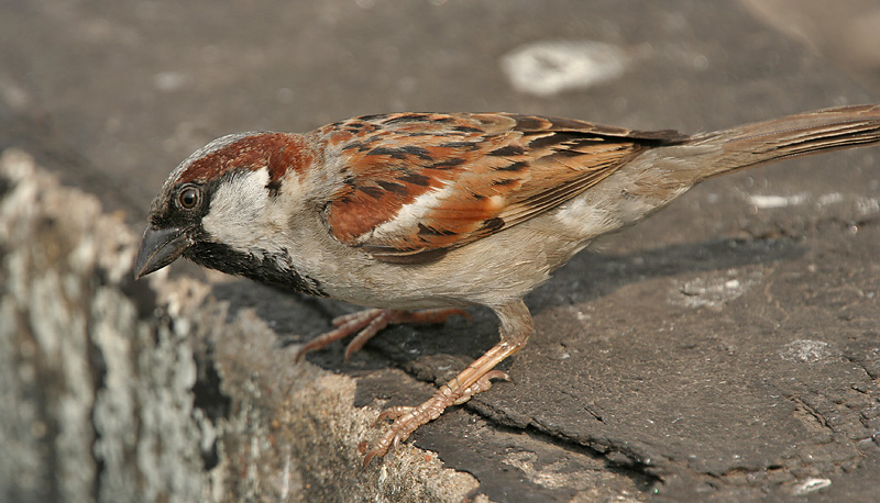 House_Sparrow_(Passer_domesticus)-_Male_in_Kolkata_I_IMG_5904