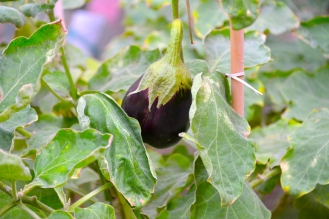 eggplant2